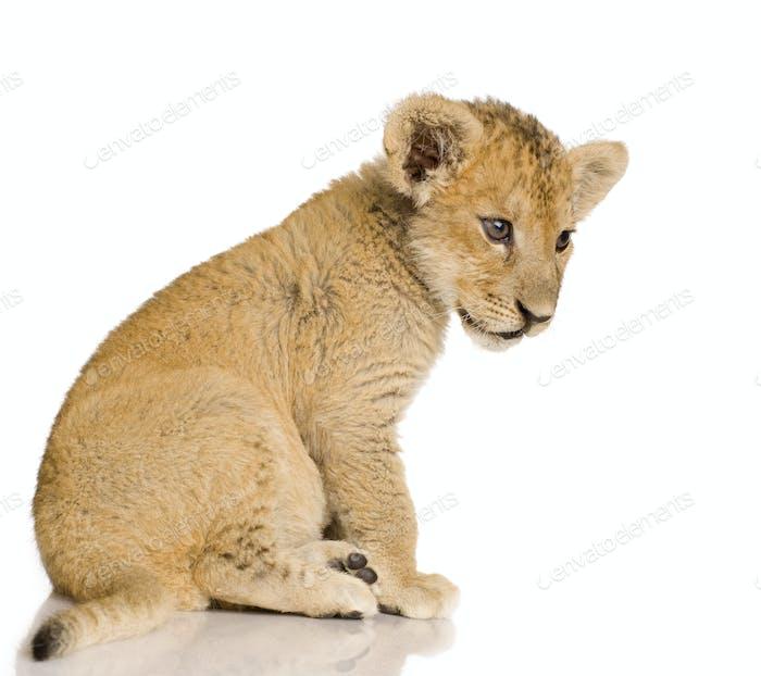 Lion Cub (3 months)