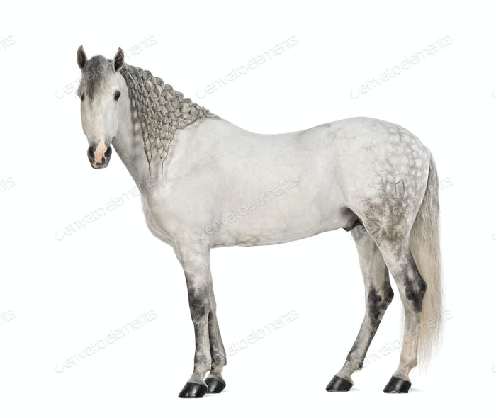 Side view of a Male Andalusian, 7 , also known as the Pure Spanish Horse or PRE, with plaited mane