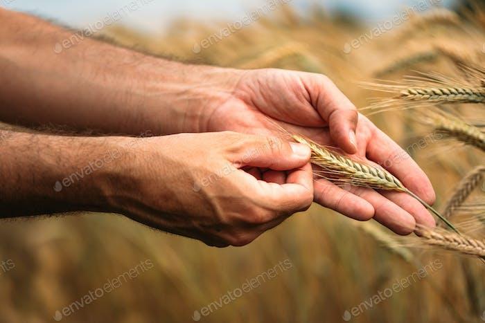 Agronom Landwirt untersucht reife Gerstenkulturen auf dem Feld