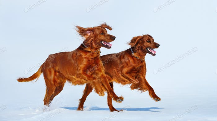 Two Red Irish Setters are running over white snow in winter.
