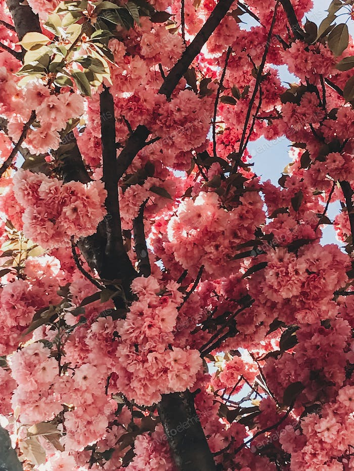 Beautiful pink sakura flowers on branches in blue sky
