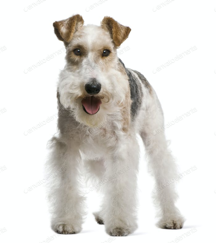 Fox terrier, 4 yeas old, in front of white background