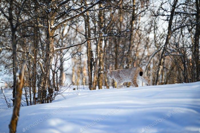 Eurasian lynx walking on snow by trees