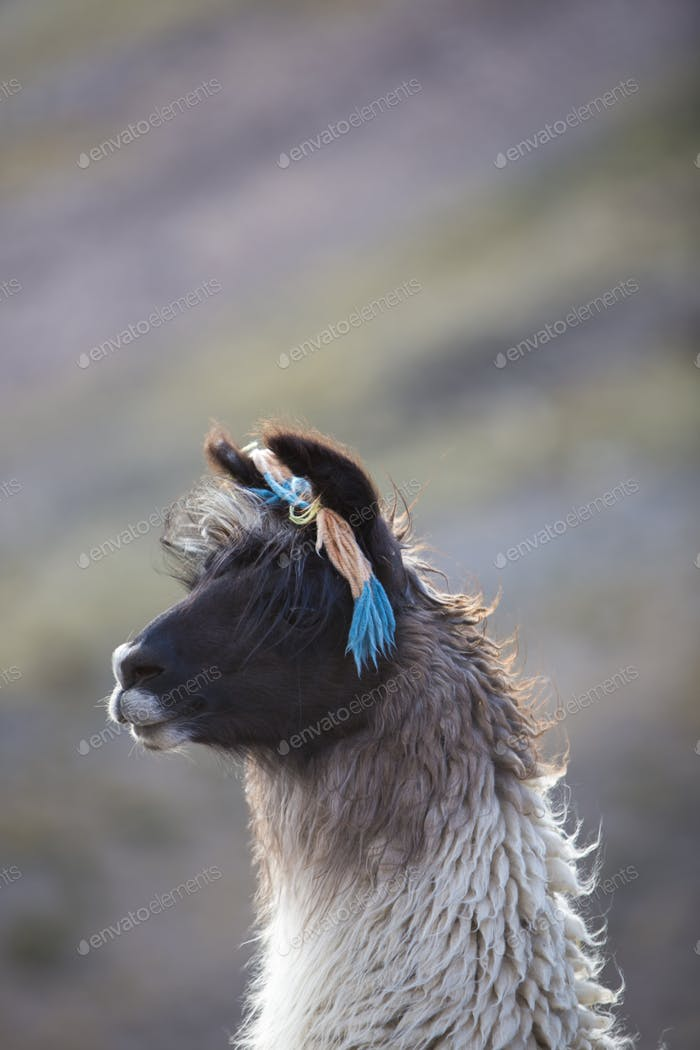 Portrait of beautiful Llama, Argentina