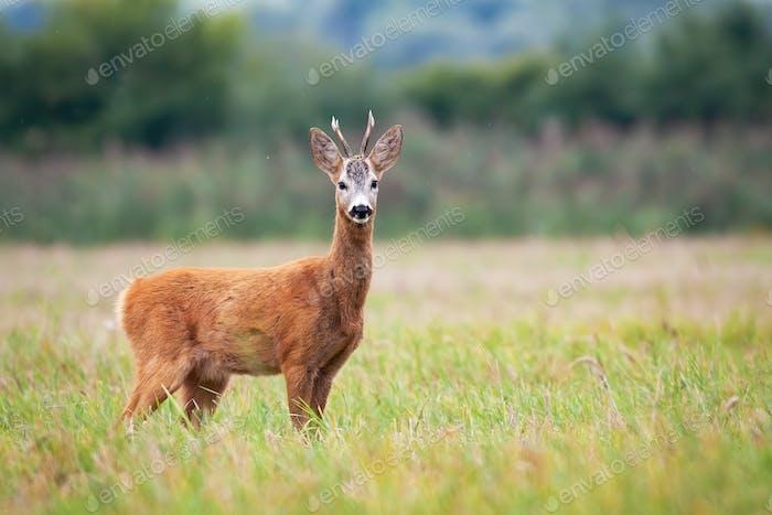 Roe deer is keeping a wary eye on the grassy meadow