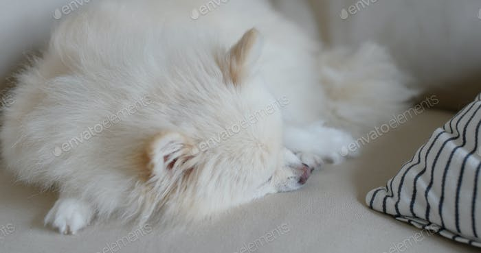 Pommern schlafen auf dem Sofa zu Hause