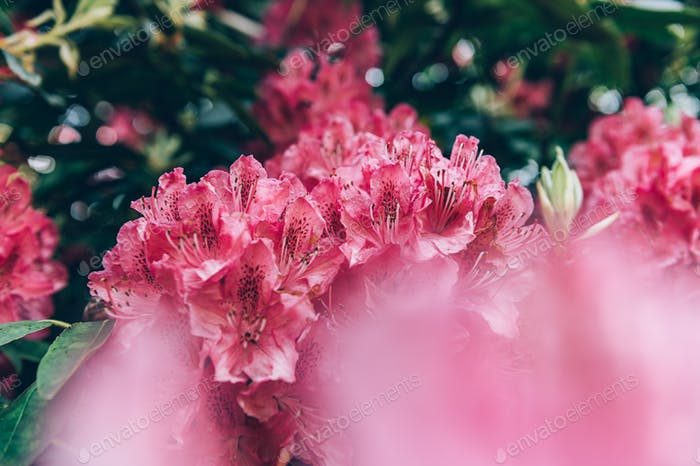 Shrubs in bloom of Pink Rhododendron
