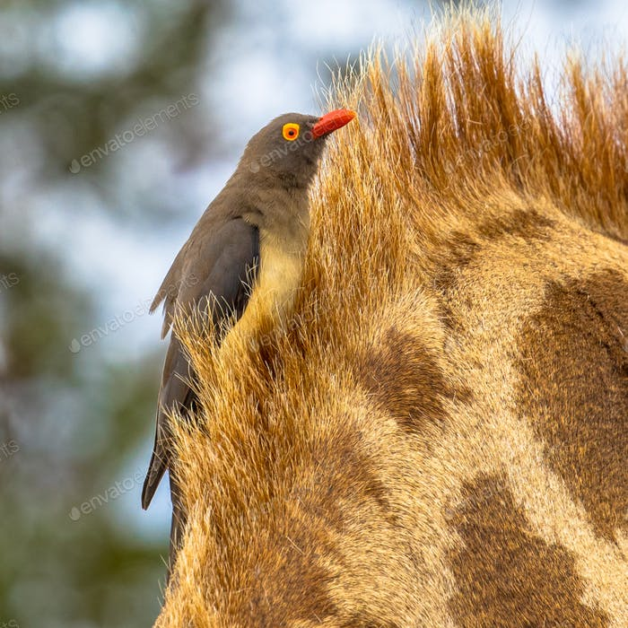 Red billed oxpecker insta