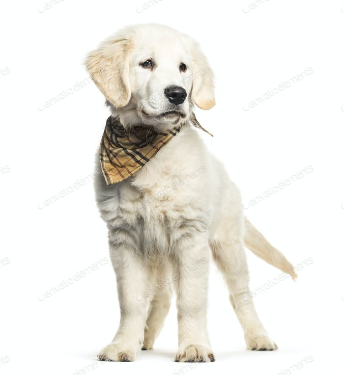 Golden Retriever, 3 months old, in front of white background
