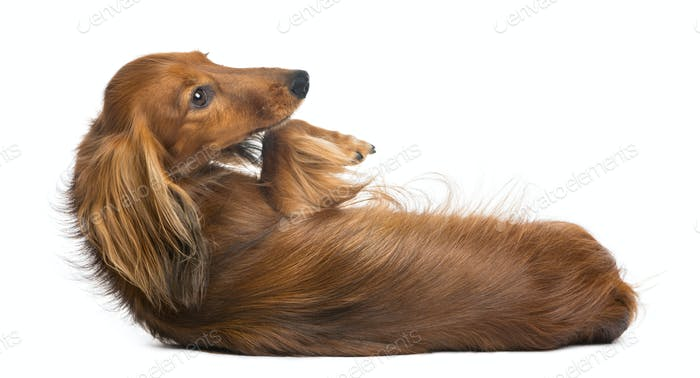 Dachshund, 4 years old, lying on its back against white background