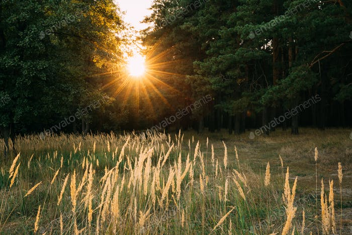 Sun Shining In Autumn Forest. Sunset Sunrise Dawn In Forest Land
