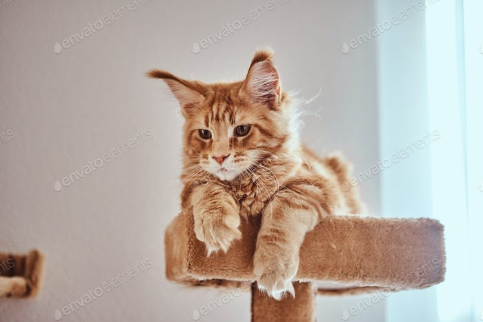 Cute ginger maine coon kitten is lying on special cat's furniture near window