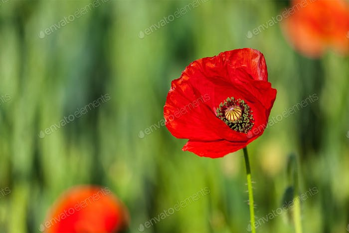 Red poppy in field