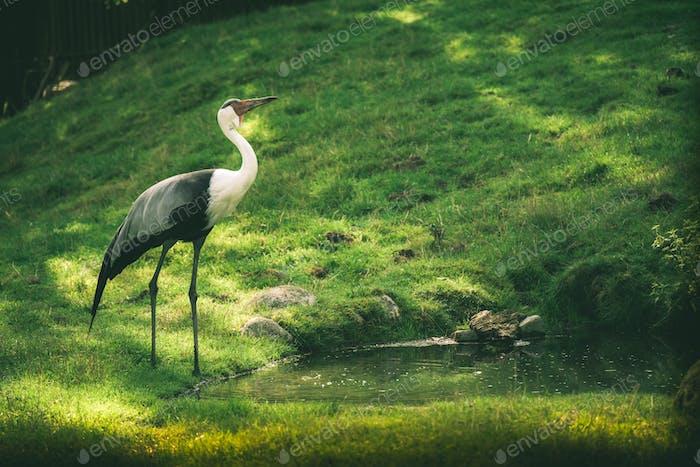 Closeup shot of a Wattled crane