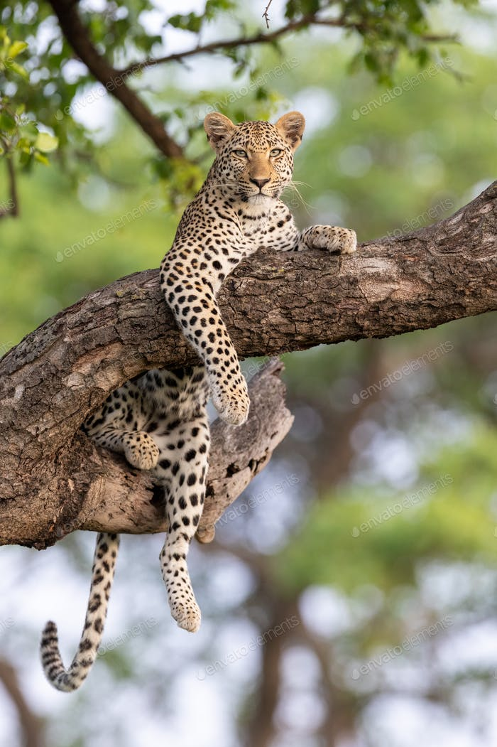 A leopard, Panthera pardus, lies in a tree