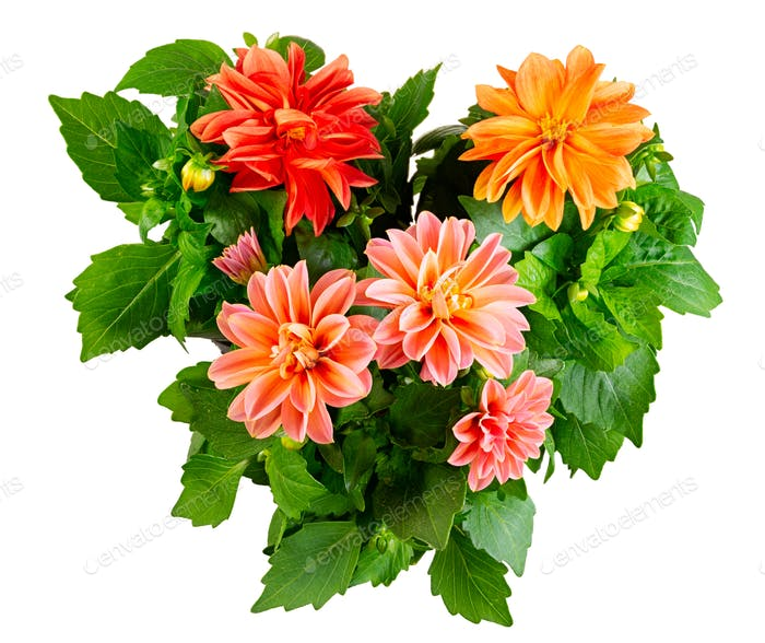 Isolated dahlia flower blossoms