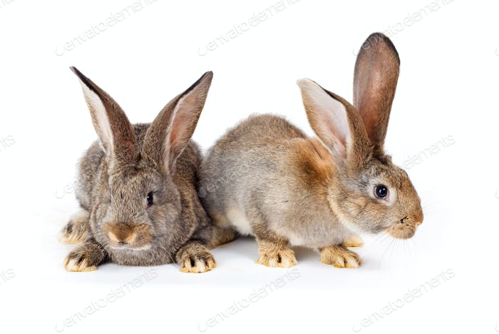 Two brown rabbits sitting