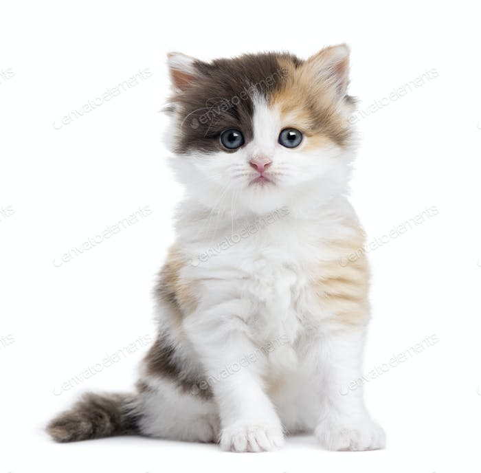 Highland straight kitten sitting, looking at the camera, isolated on white