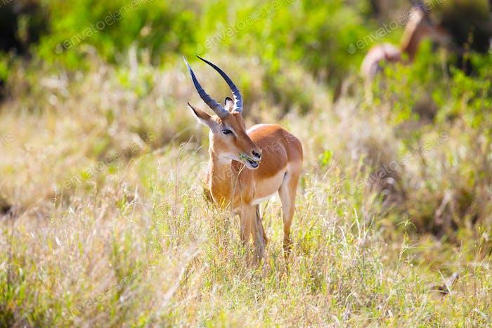 Gazelle eating in Serengeti Africa