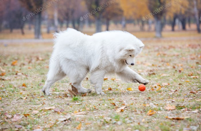 Young samoyed dog playing in autumn park