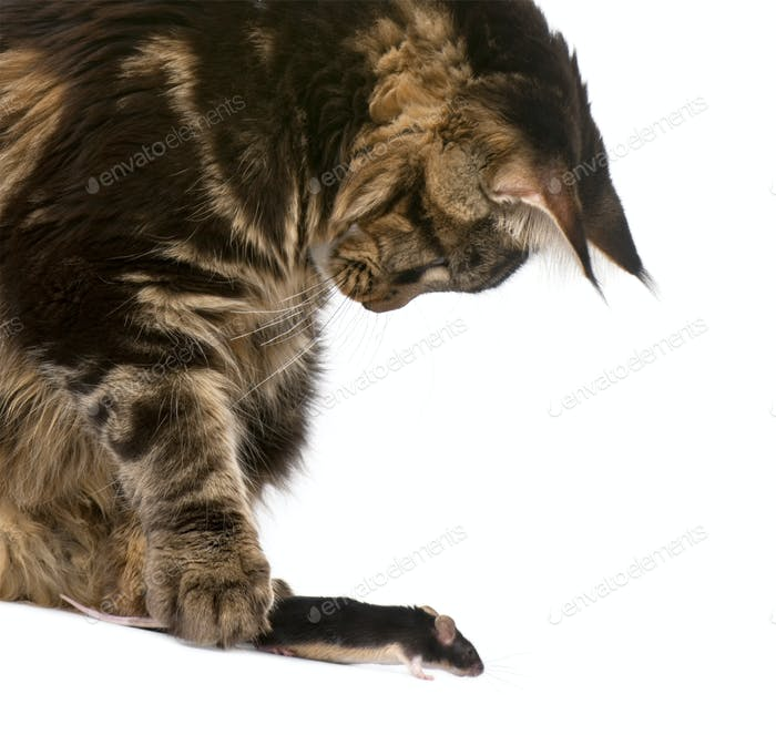 Maine Coon petting mouse, 7 months old, in front of white background