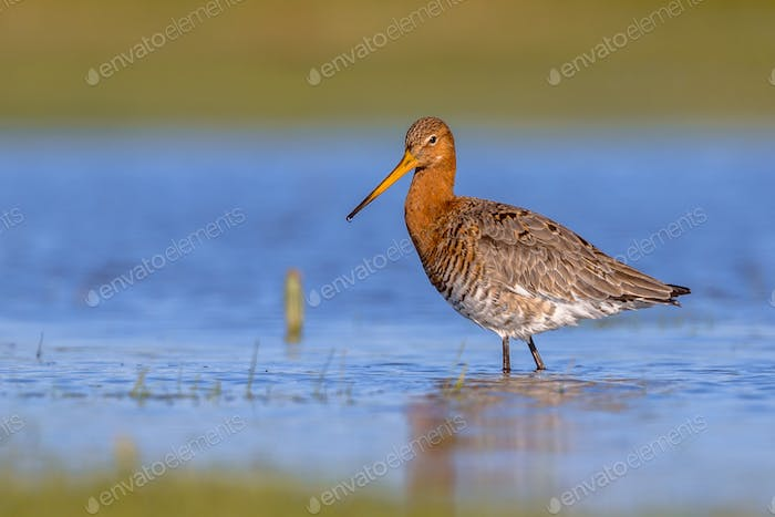 Black tailed Godwit standing and looking in shallow water