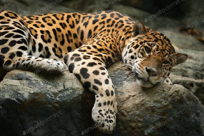 jaguar resting on the rock in zoo