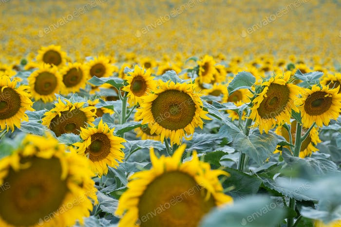 A field with beautiful sunflowers, daytime, no people