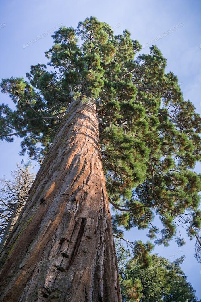 Hoher Sequoia-Baum, Calaveras Big Trees State Park, Kalifornien