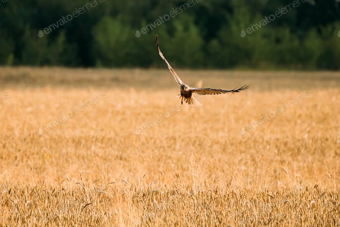 Hen Harrier Or Circus Cyaneus Wild Bird Flies Over Wheat Field I