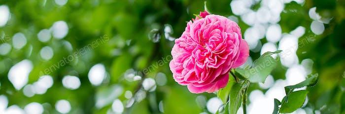 Beautiful pink climbing rose in garden