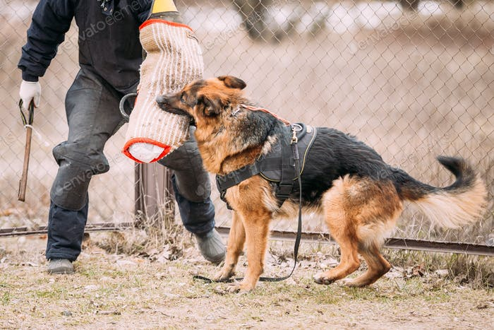 German Shepherd Dog training. Biting dog