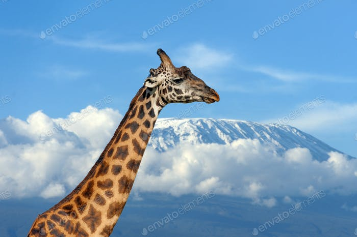 Giraffe on Kilimanjaro mountain in National park of Kenya
