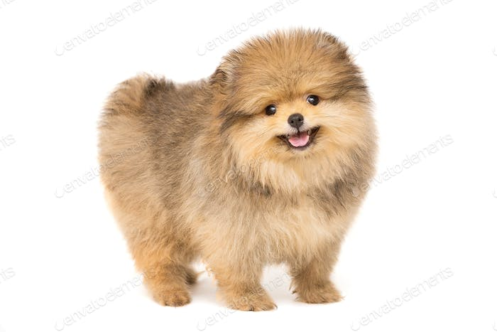 Small and funny Pomeranian puppy