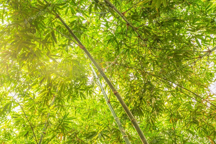 Bamboo forest with sunlight_-5