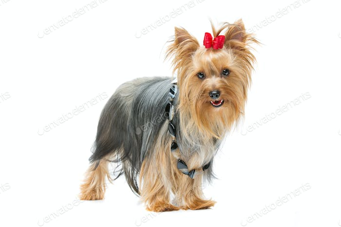 Beautiful yorkshire terrier standing