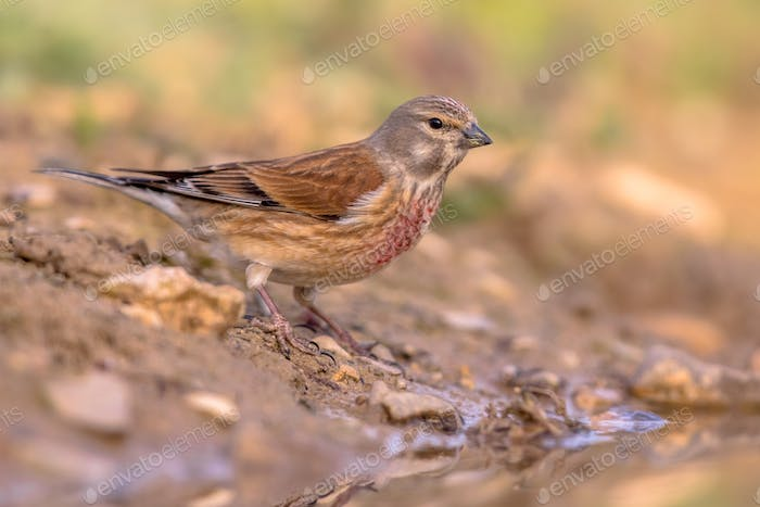 Common linnet on bank