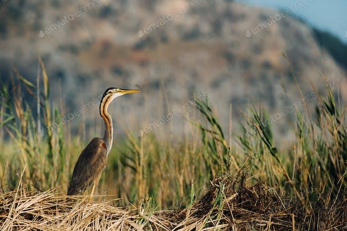 Heron. Nature background. Little Egret. Egretta garzetta. Kayseri. Sultan sazligi, Turkey