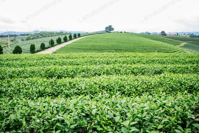 Green tea farm on the hill