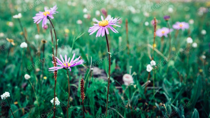 Beautiful Taraxacum flower on highland plain
