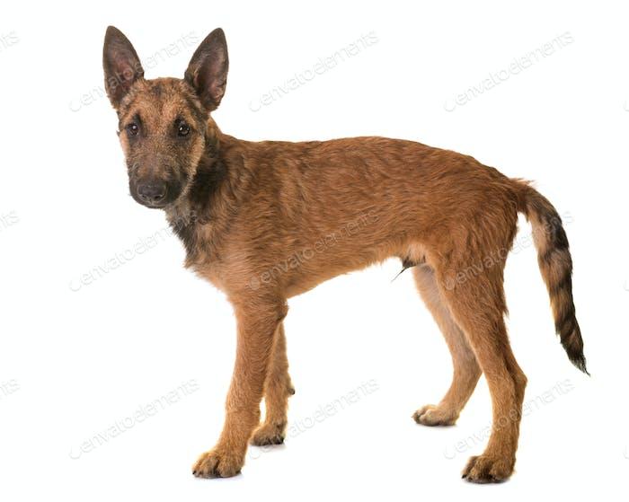 puppy belgian shepherd laekenois