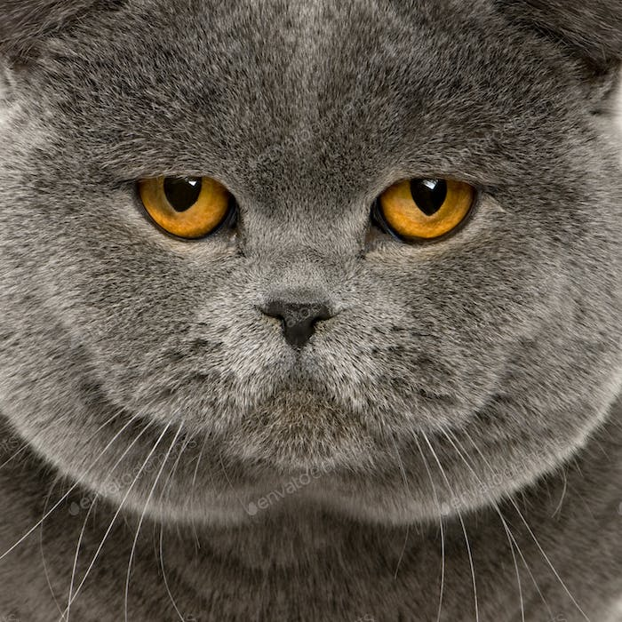 close up of a british shorthair (2 years old)