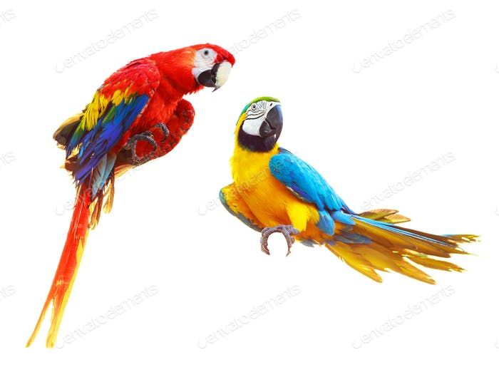 Two colorful red parrots macaw isolated on white