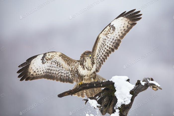 Majestic common buzzard landing on tree in winter
