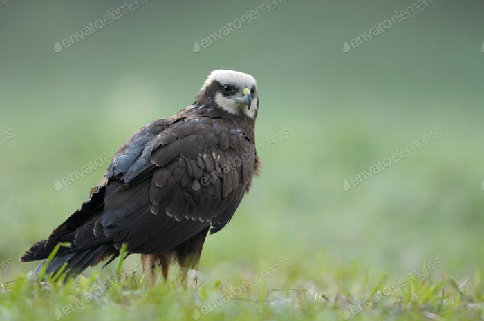 Female of the marsh harrier (Circus aeruginosus) in the mating colour on the meadow