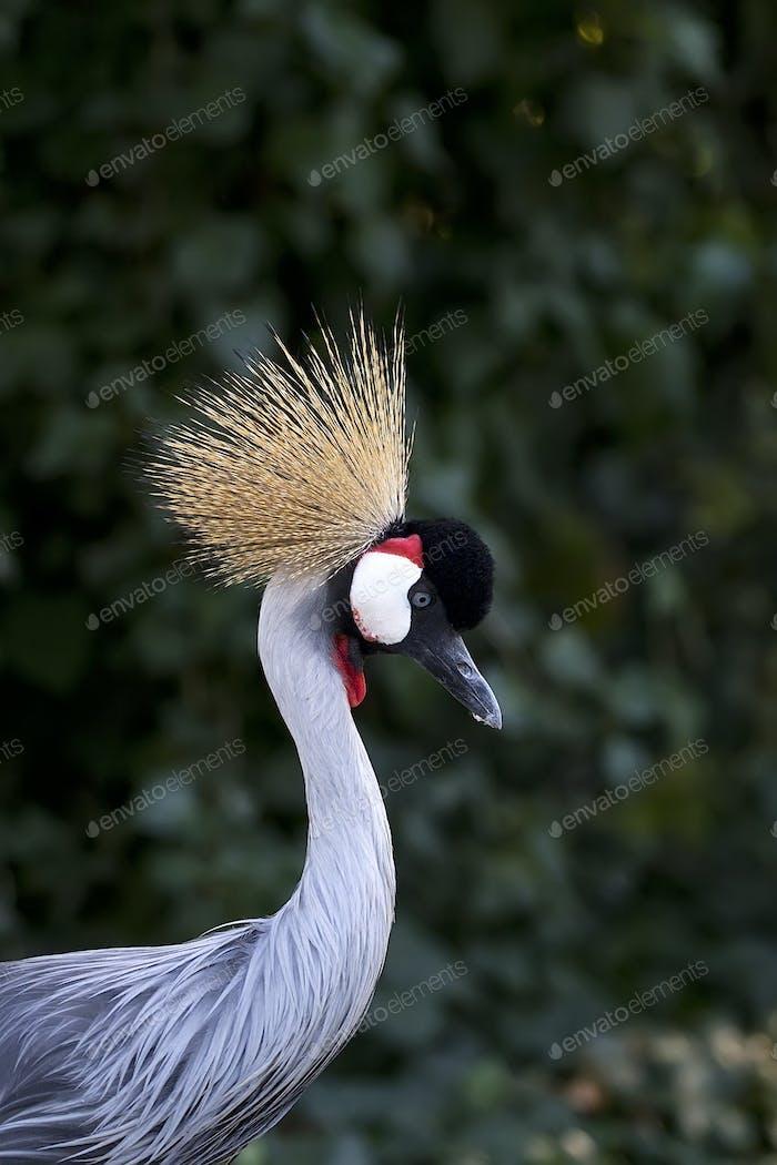 Grey Crowned Crane a portrait