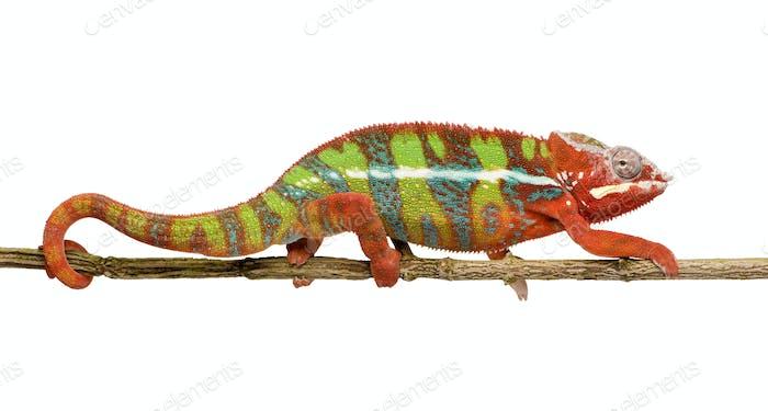 Chameleon Furcifer Pardalis - Ambilobe (18 months)