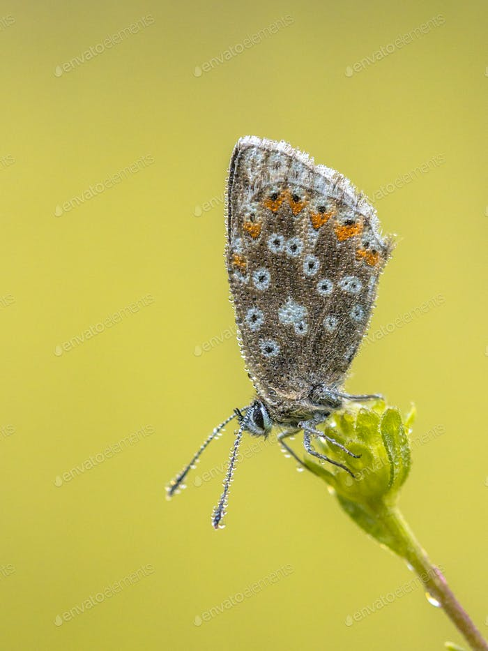 Chalkhill blue butterfly with dew drops