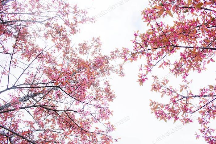 Pink sakura at sky