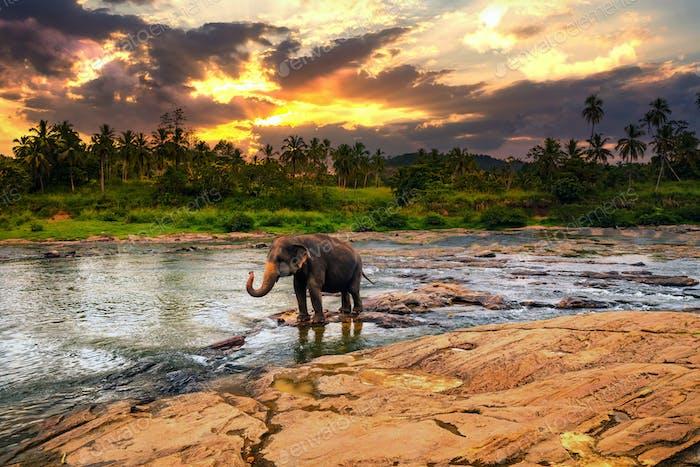 Elephant bathing in the river. Pinnawala Elephant Orphanage. Sri Lanka